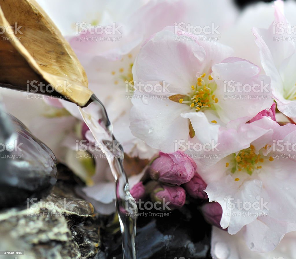 cherry blossoms in fountain stock photo