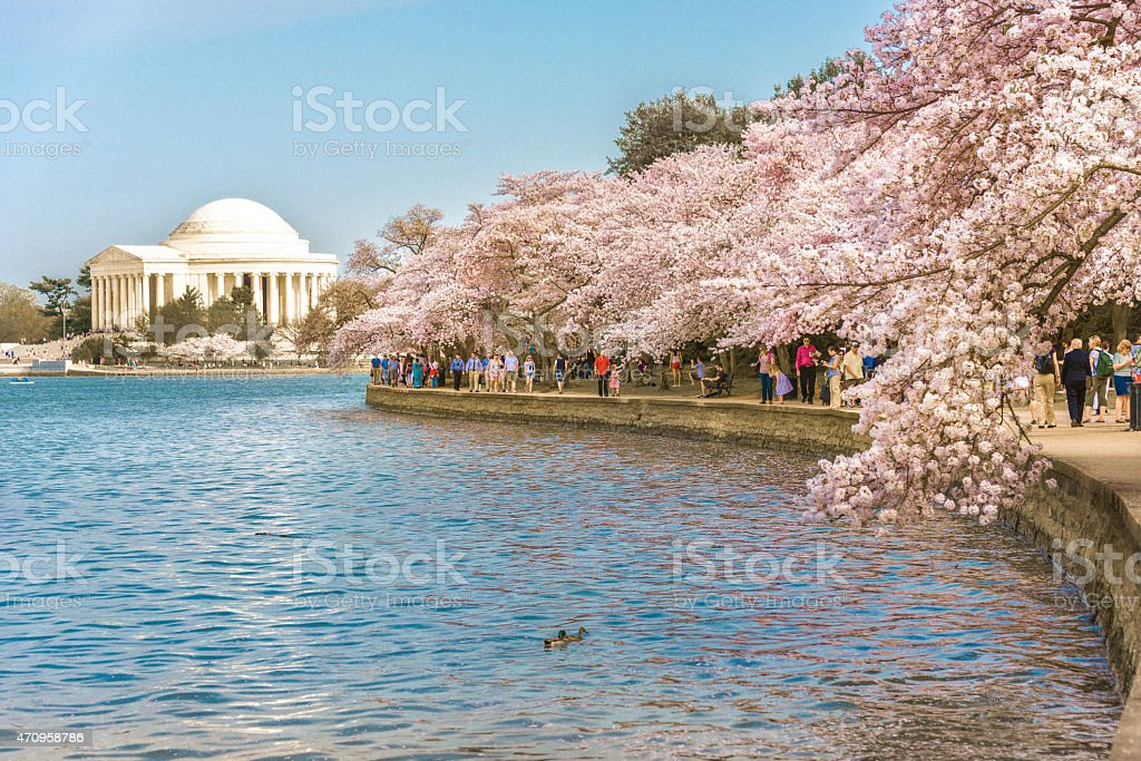 Cherry Blossoms in Full Bloom stock photo