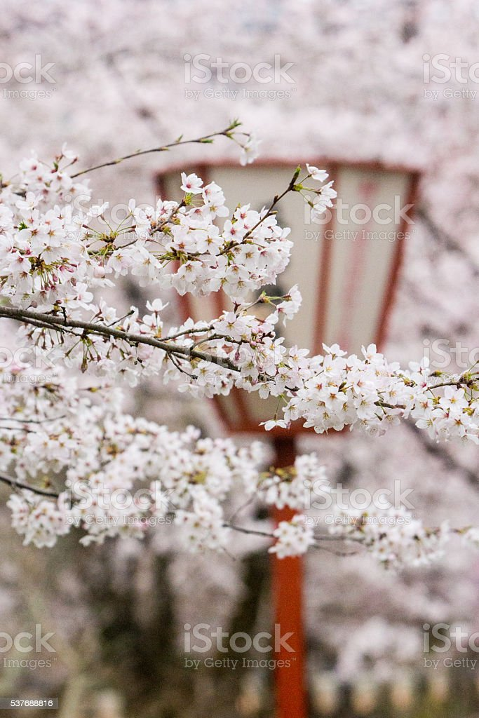 Cherry Blossoms in Kyoto, Japan stock photo