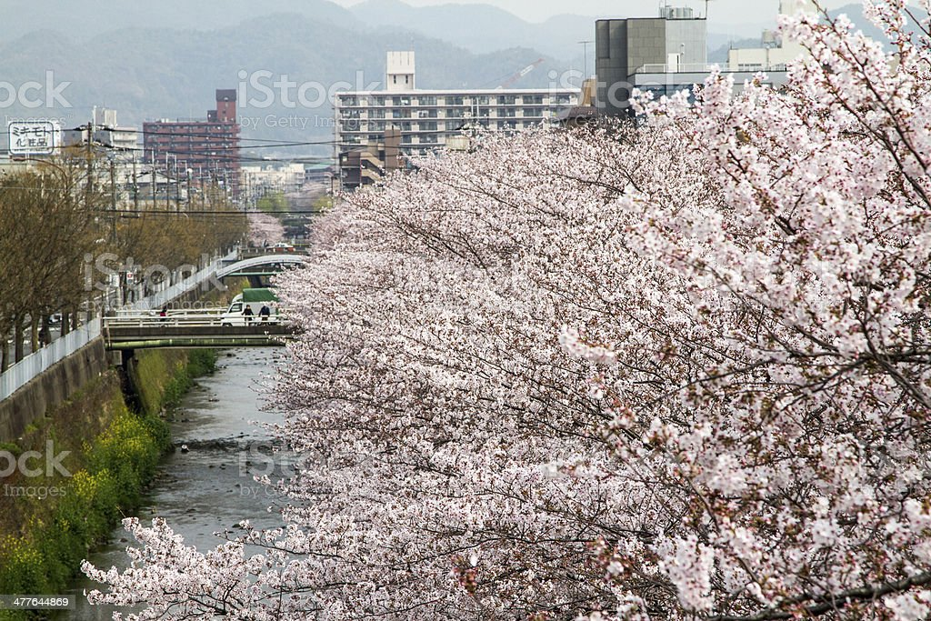 Cherry blossoms in Kyoto,Japan royalty-free stock photo