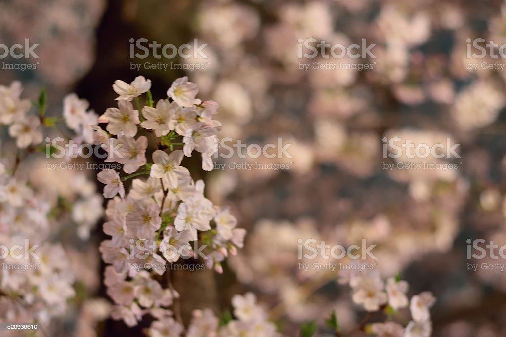 Cherry Blossoms in night illumination setting stock photo