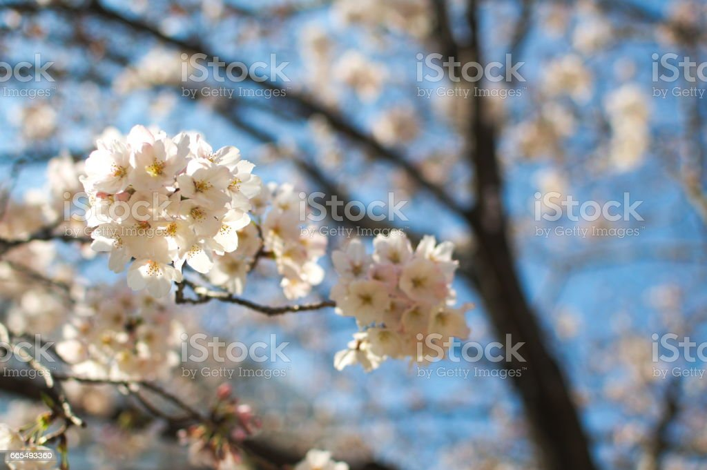 Cherry Blossoms in Osaka Japan stock photo