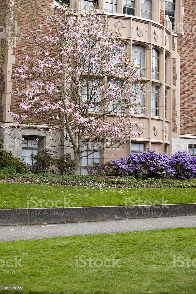 Cherry Blossoms in Spring on University of Washington campus royalty-free stock photo