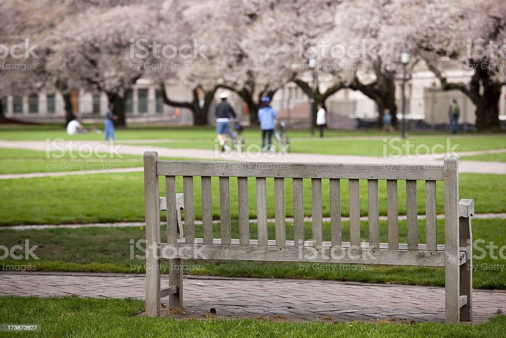 Cherry Blossoms in Spring on University of Washington campus stock photo