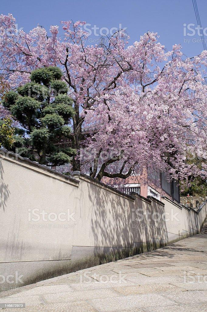 春の桜 stock photo