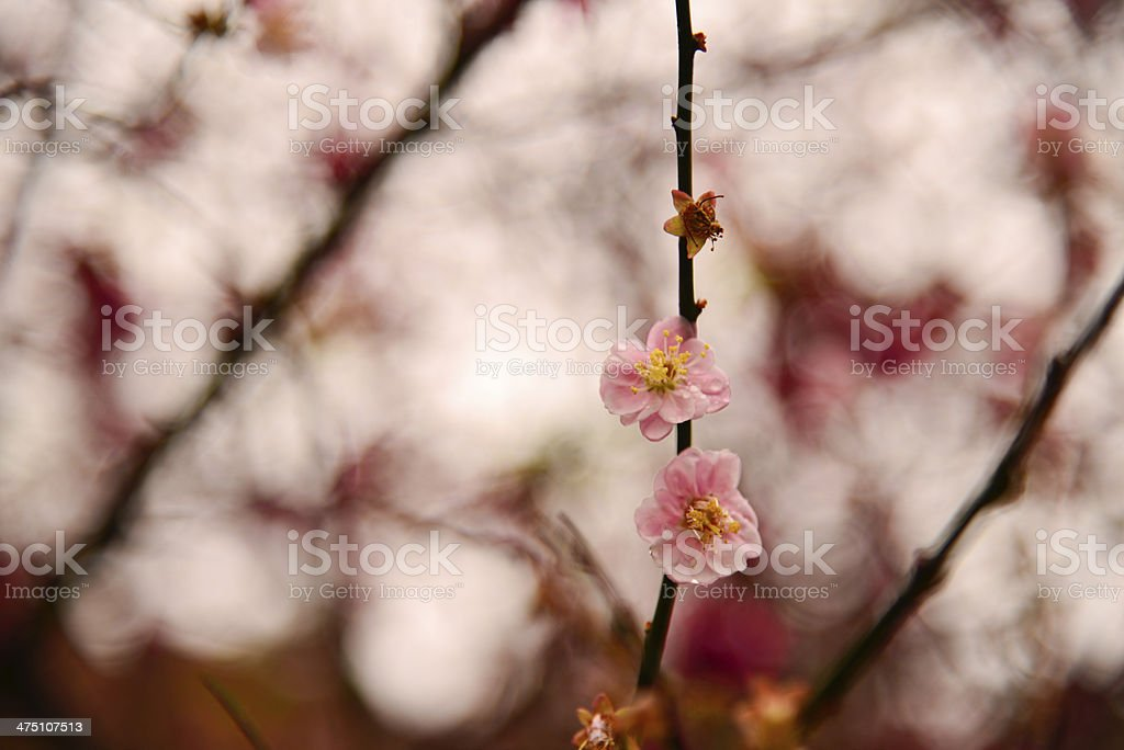 Cherry Blossoms in Taiwan royalty-free stock photo