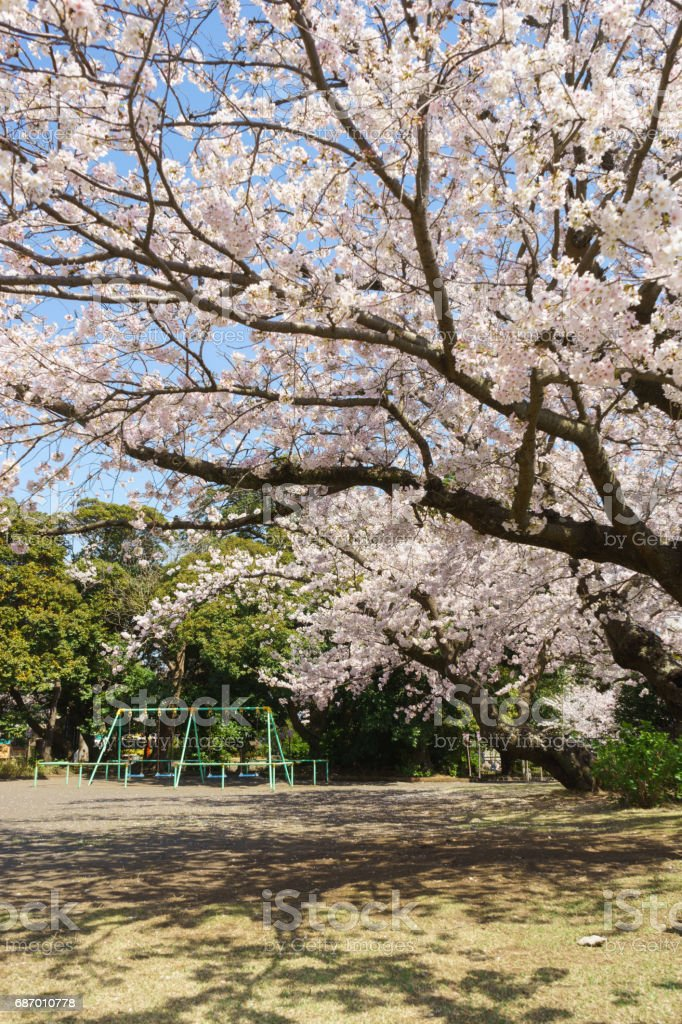 Cherry blossoms in the park stock photo
