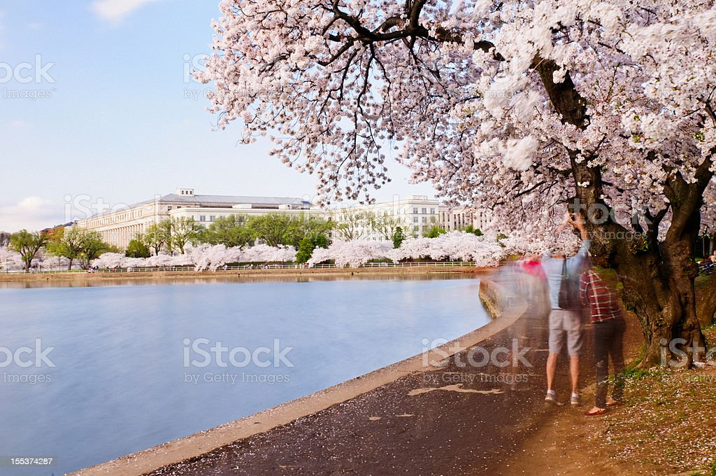 Cherry Blossoms in Washington DC stock photo