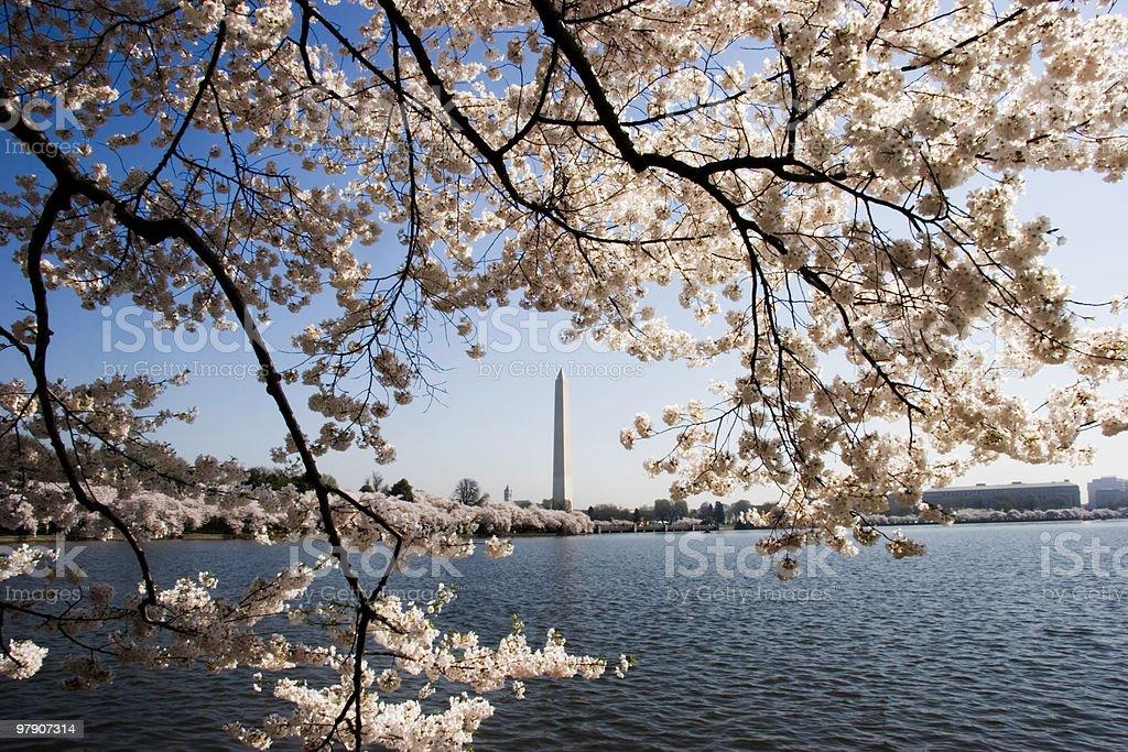 Cherry Blossoms in Washington stock photo