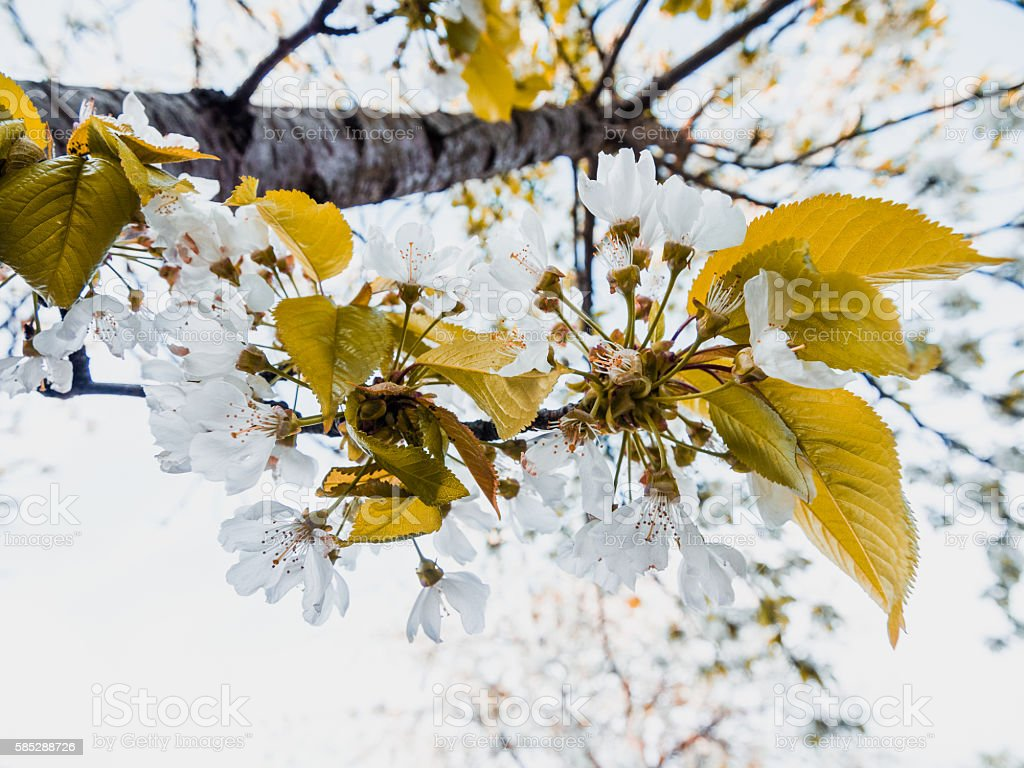 Cherry Blossoms in Werder, Germany stock photo