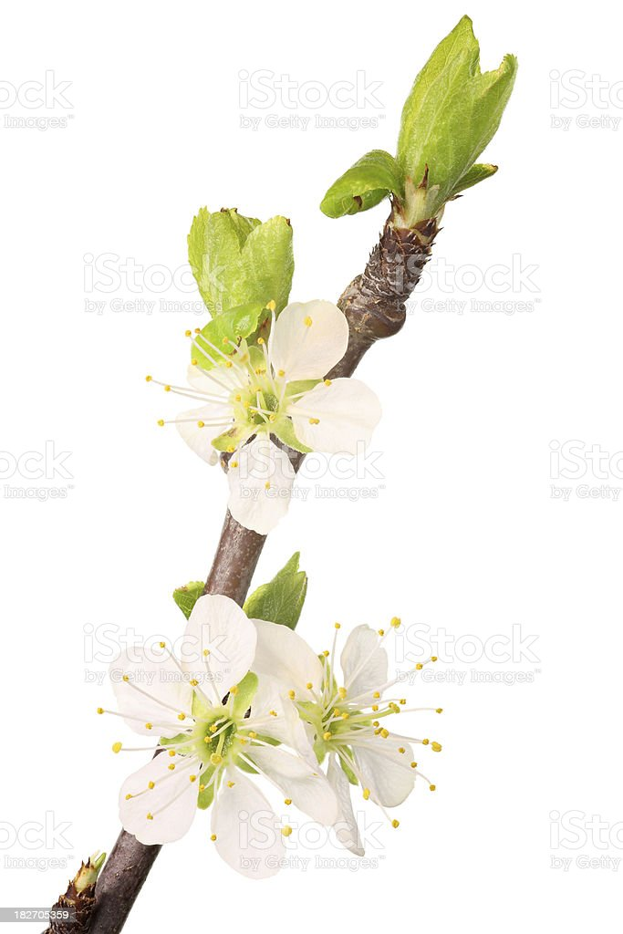 cherry blossoms isolated on white royalty-free stock photo