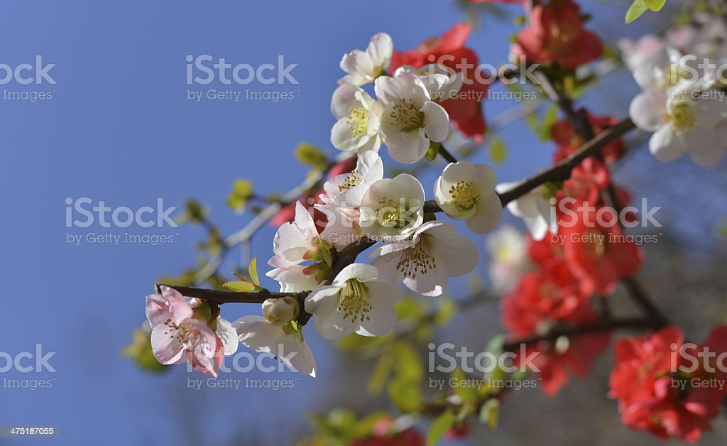 Cherry blossoms, Japan royalty-free stock photo
