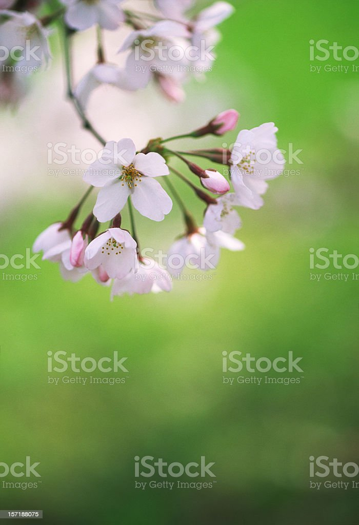 Cherry blossoms of early blooming royalty-free stock photo