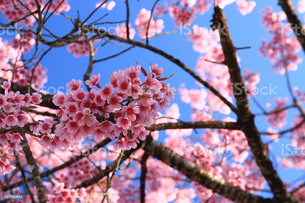 Cherry blossoms  of Thailand royalty-free stock photo