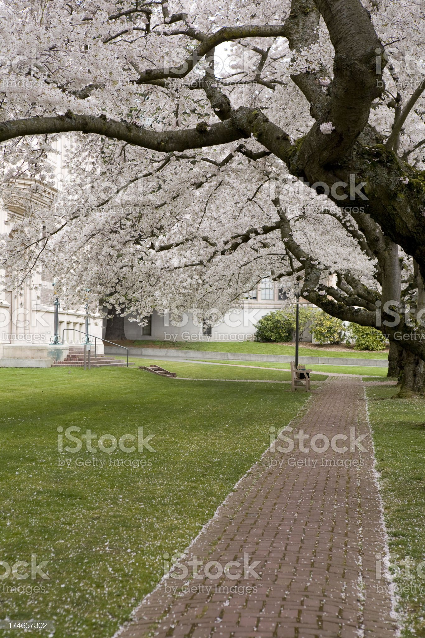 Cherry blossoms on college campus royalty-free stock photo