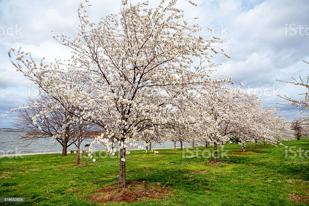 Cherry Blossoms on Field by River stock photo
