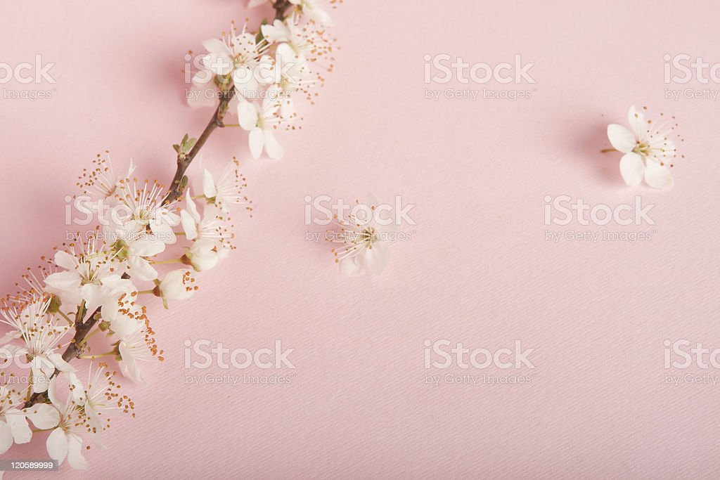 Cherry blossoms on pink background. royalty-free stock photo