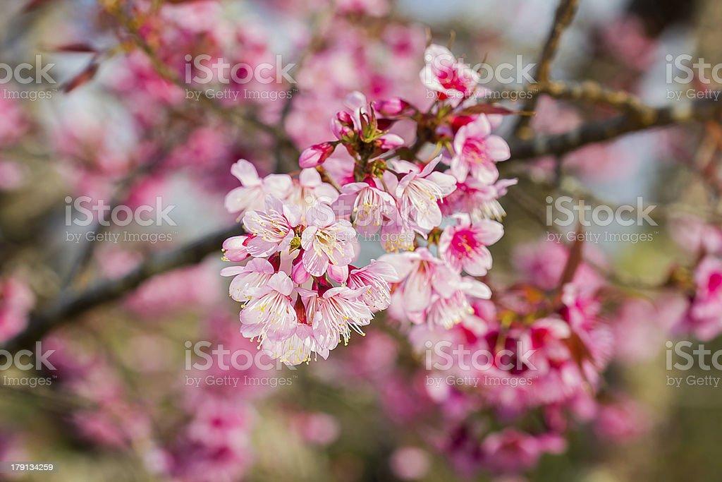 Cherry blossoms or sakura flower in full bloom stock photo