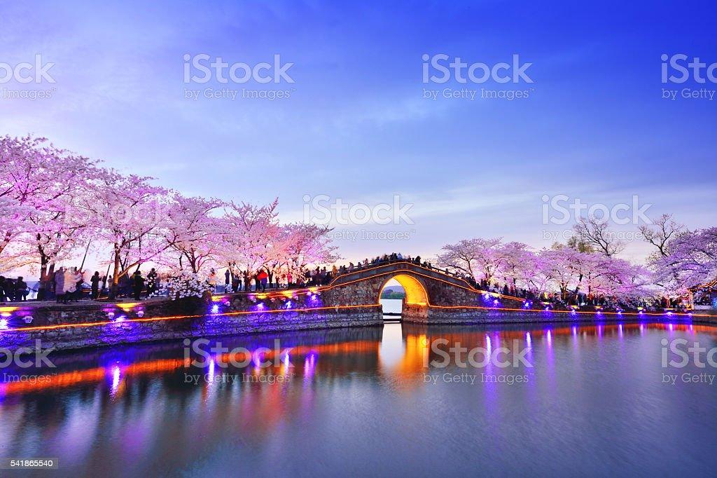 Cherry Blossoms or Sakura stock photo