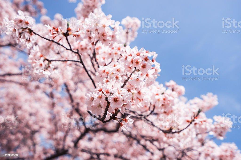 Cherry blossoms or Sakura with blue sky stock photo