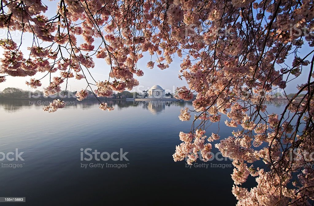 DC Cherry Blossoms royalty-free stock photo