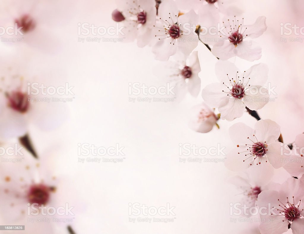 Cherry blossoms. royalty-free stock photo