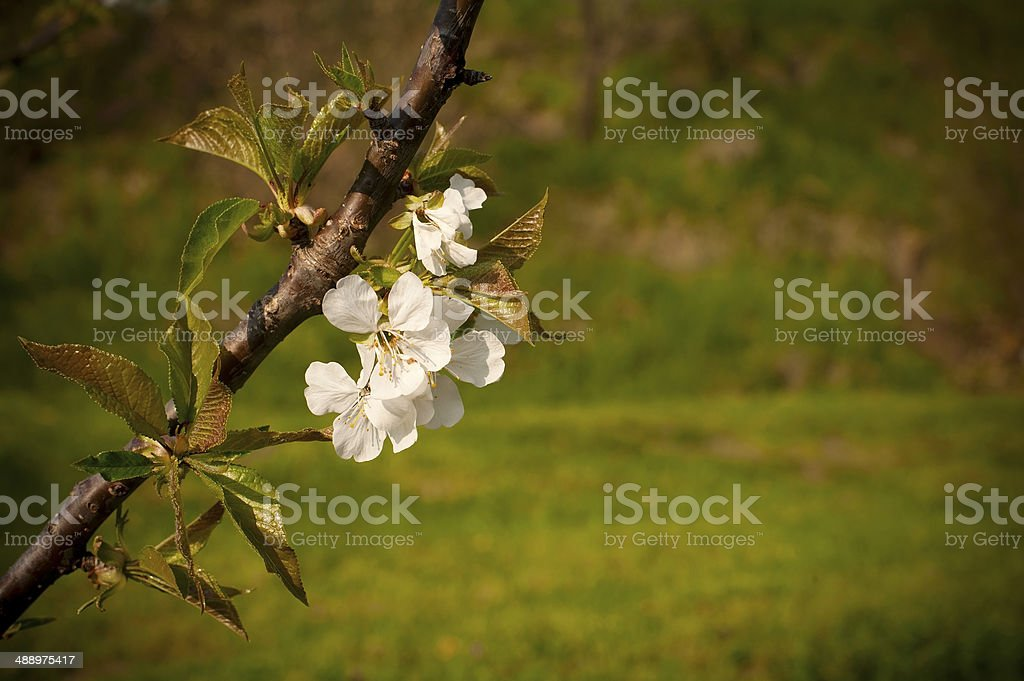 Cherry Blossoms royalty-free stock photo
