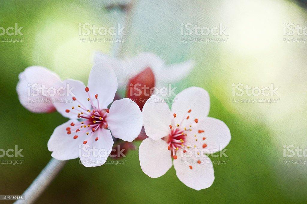 Cerezos en flor  foto de stock libre de derechos