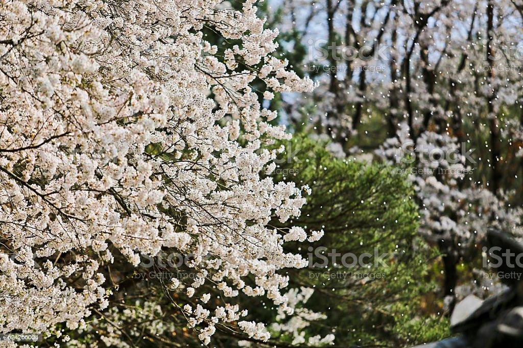 cherry blossoms  Стоковые фото Стоковая фотография