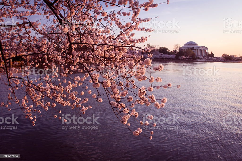 DC Cherry Blossoms stock photo