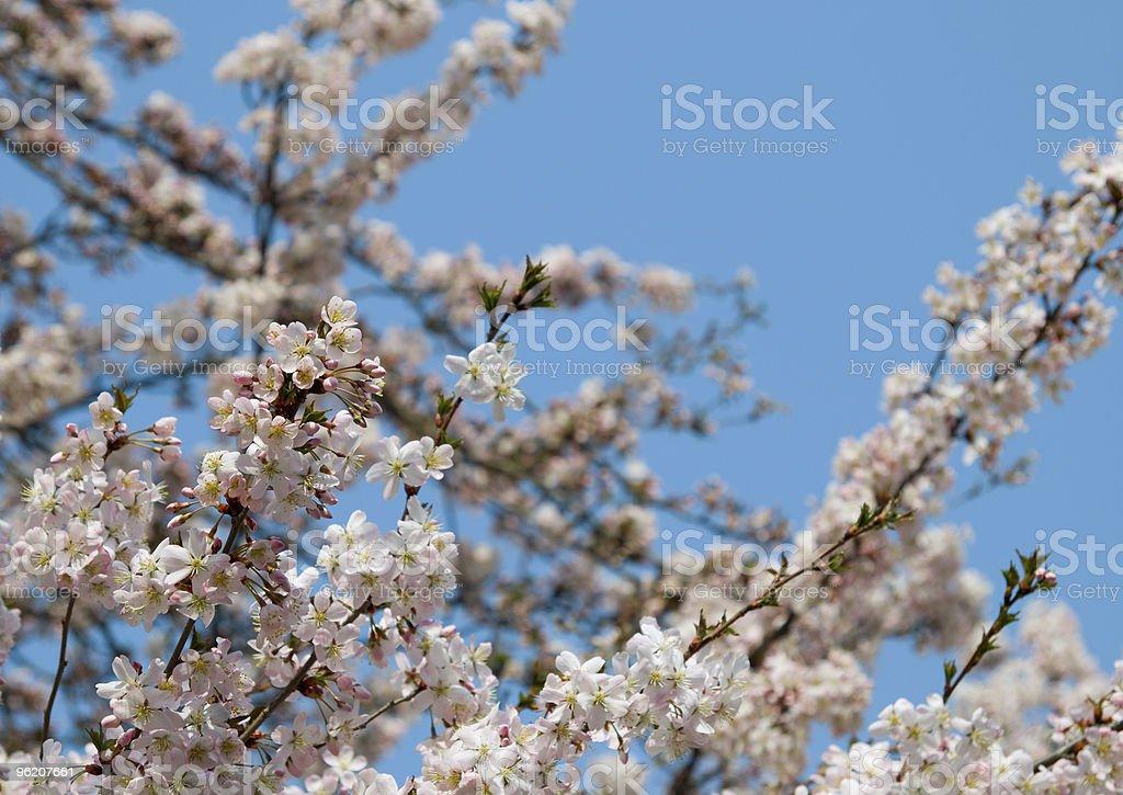 Kirschblüten foto de stock royalty-free