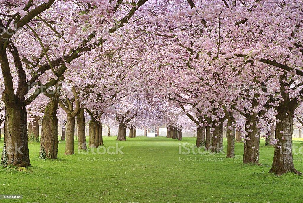 Cherry blossoms plenitude stock photo