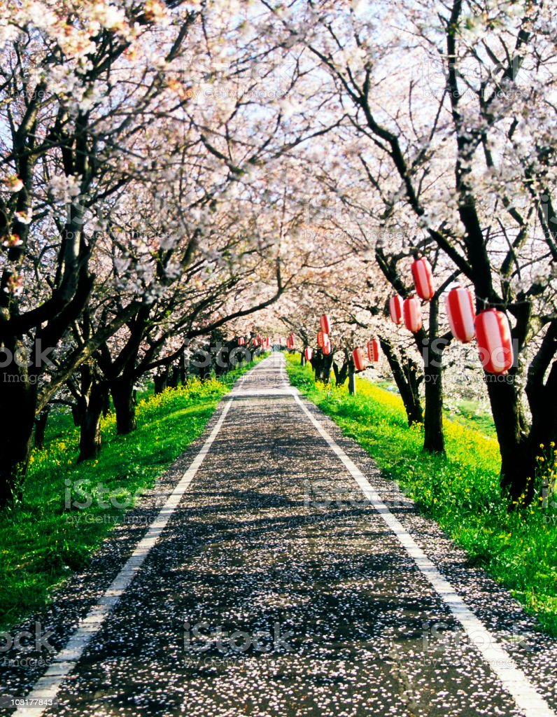 Cherry blossoms road royalty-free stock photo