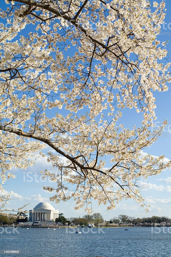 Cherry Blossoms Springtime Tidal Basin, Jefferson Memorial, Washington, DC, U.S.A. royalty-free stock photo