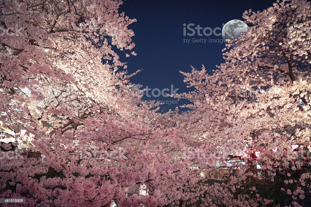 Cherry Blossoms under the moonlight stock photo