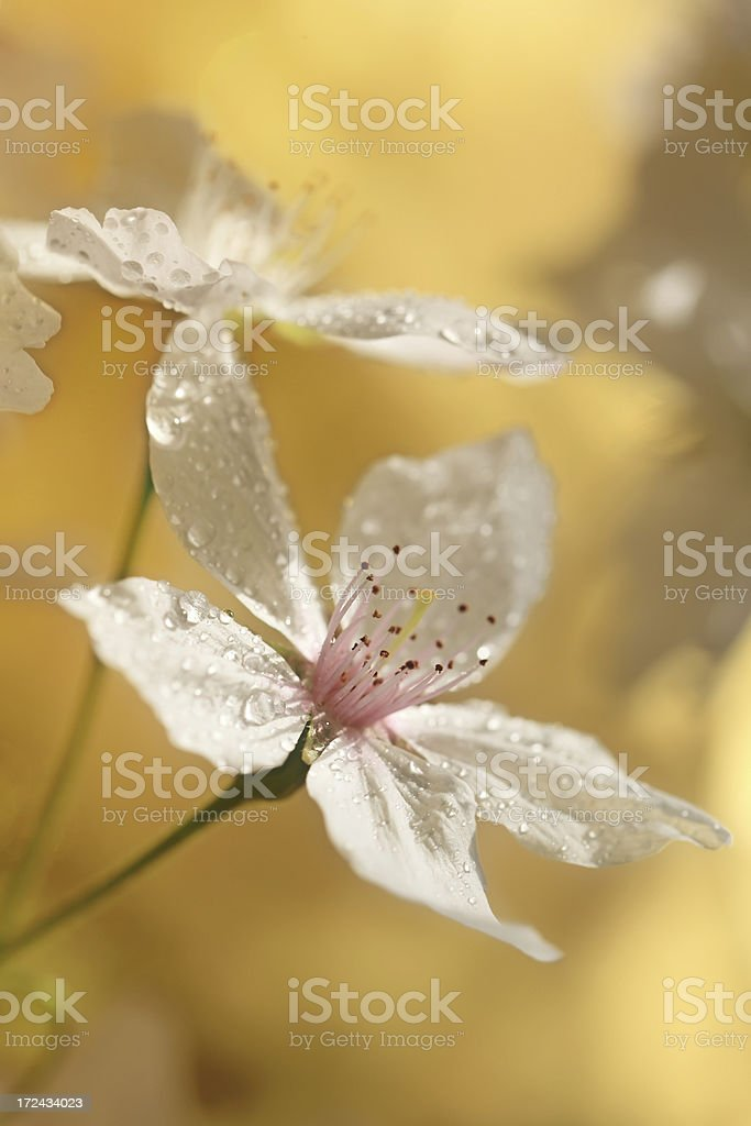 Cherry Blossoms Water Droplets royalty-free stock photo