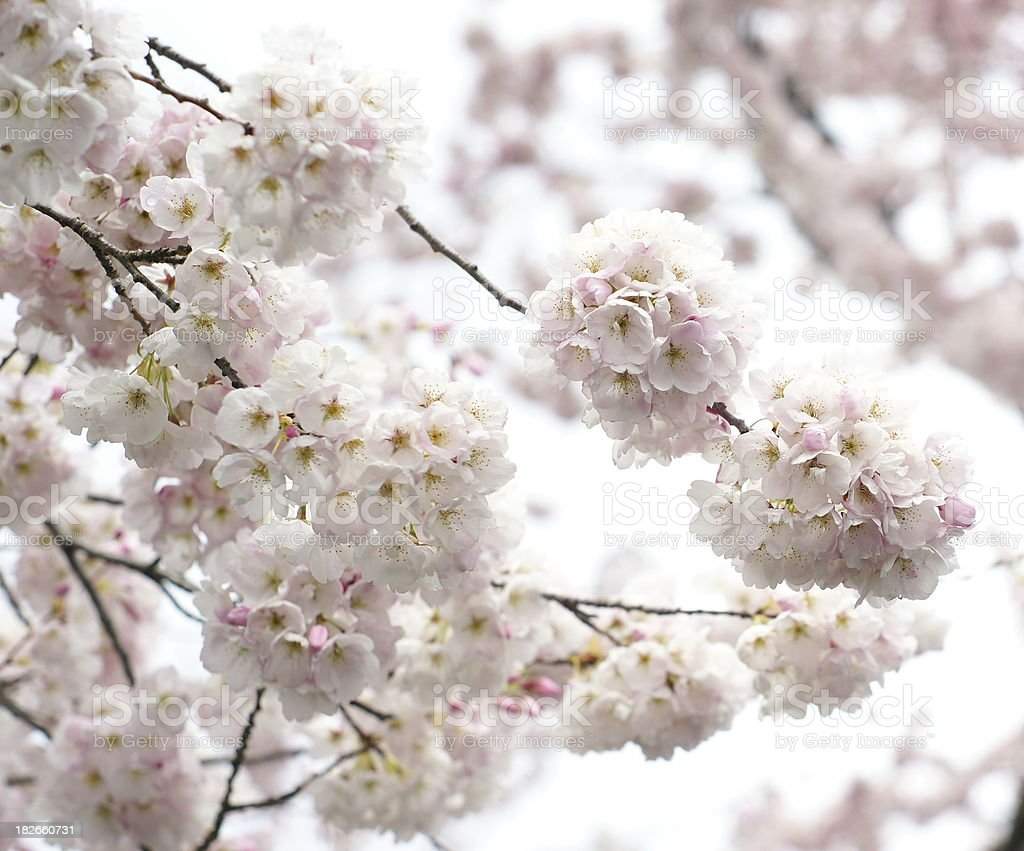 Cherry Blossoms With Bokeh Background 3 stock photo