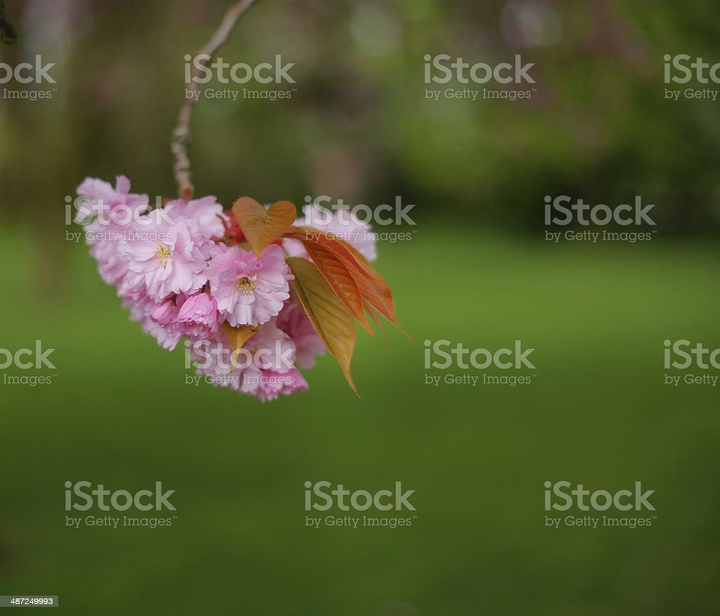 Cherry Blossoms With Copy Space stock photo