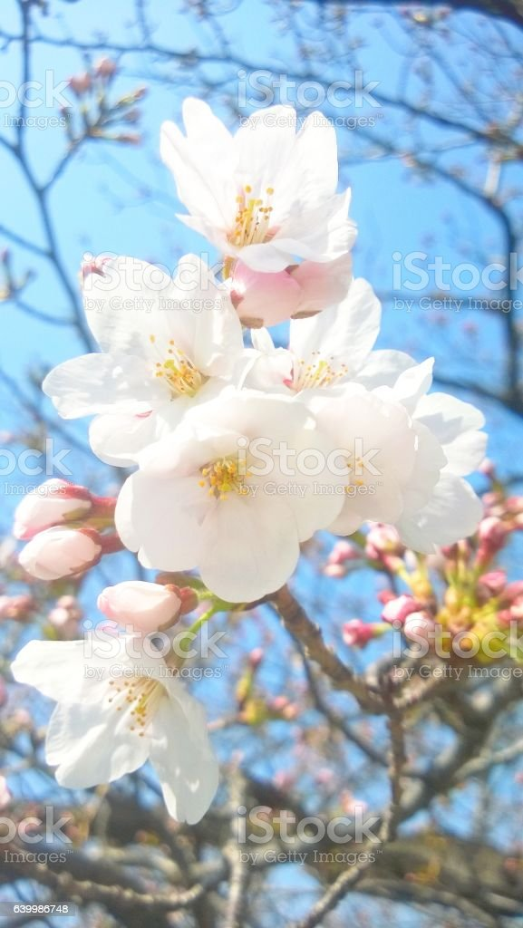 Cherry blossoms, young buds and blue sky stock photo