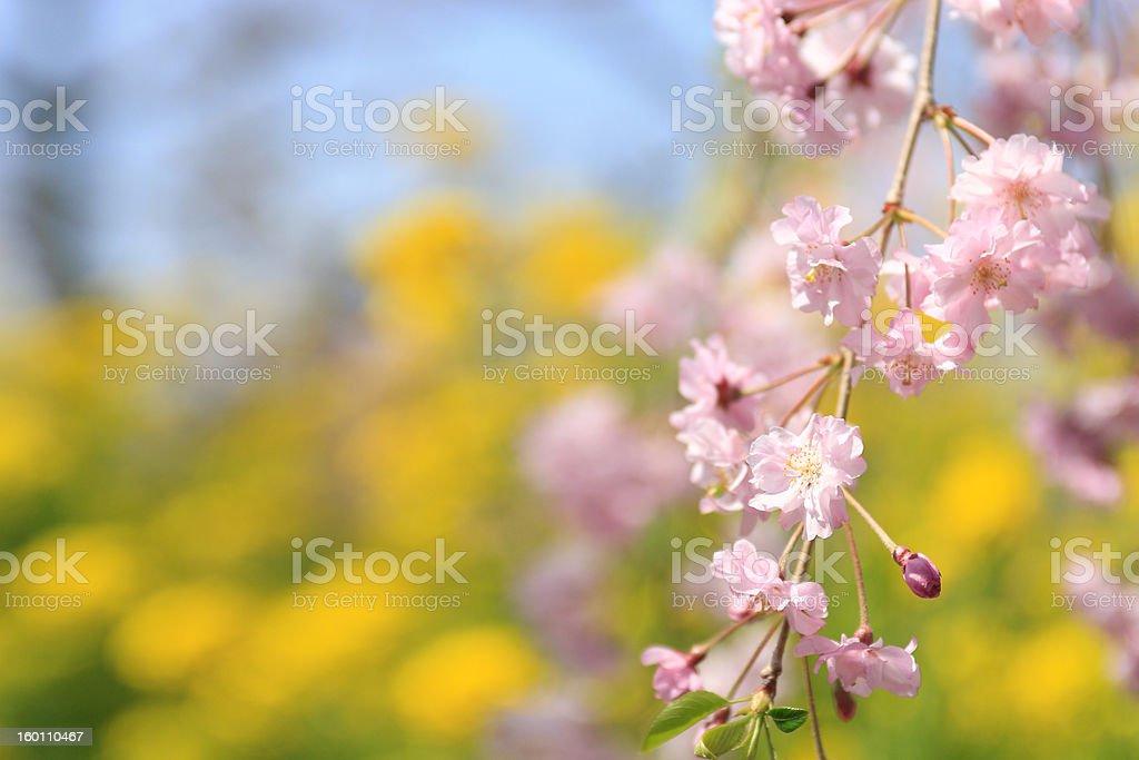 cherry blossoms&rape blossoms royalty-free stock photo