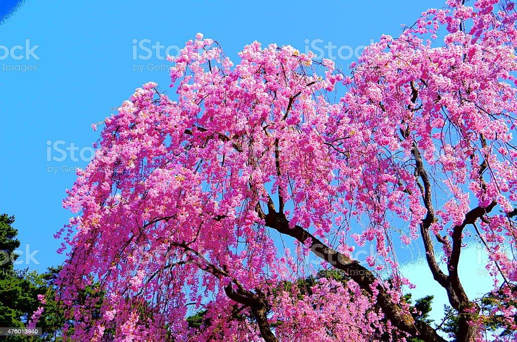 Cerezos en flor'SAKURA' foto de stock libre de derechos