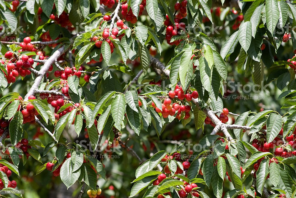 Cherry Branches royalty-free stock photo