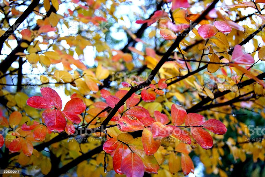 Cherry Colored Leaves royalty-free stock photo