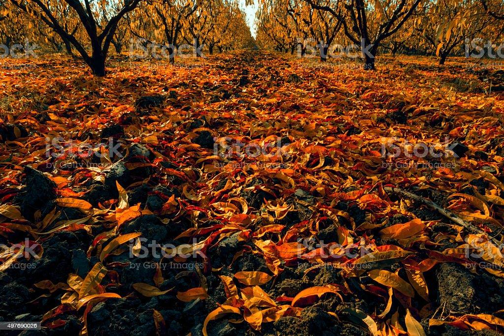 Cherry farm stock photo