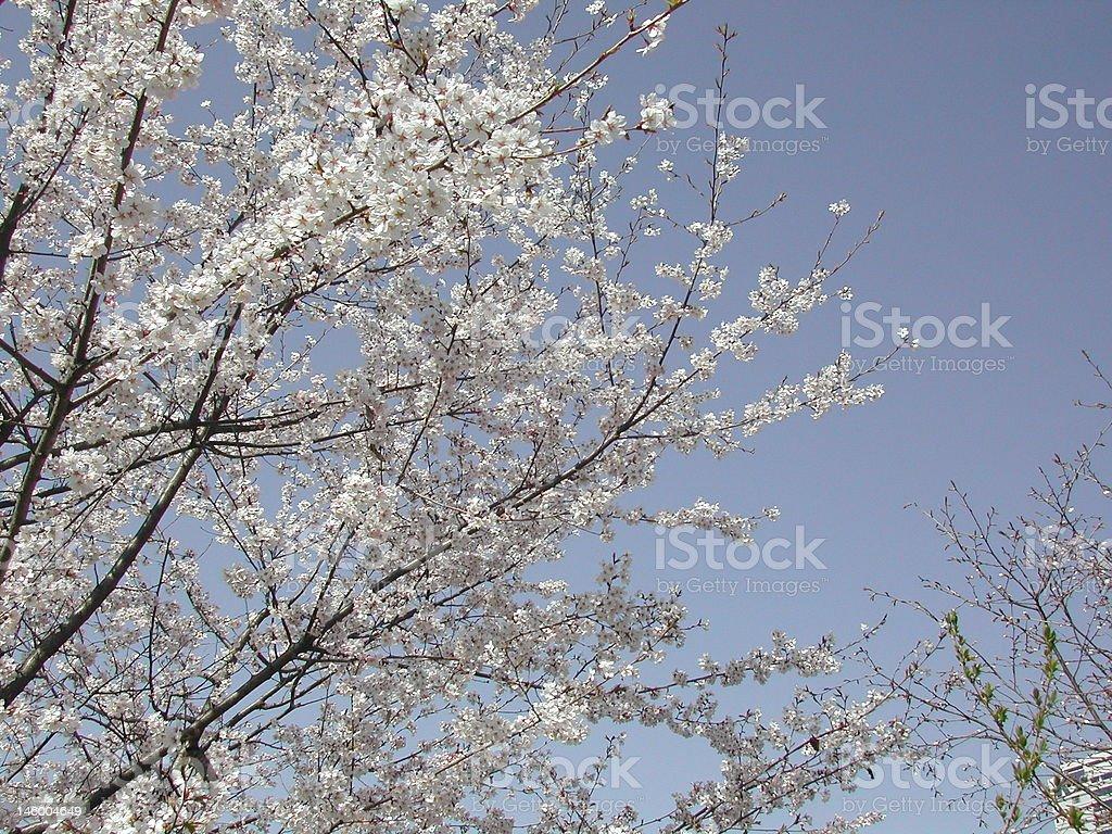Kirsche Blumen Lizenzfreies stock-foto