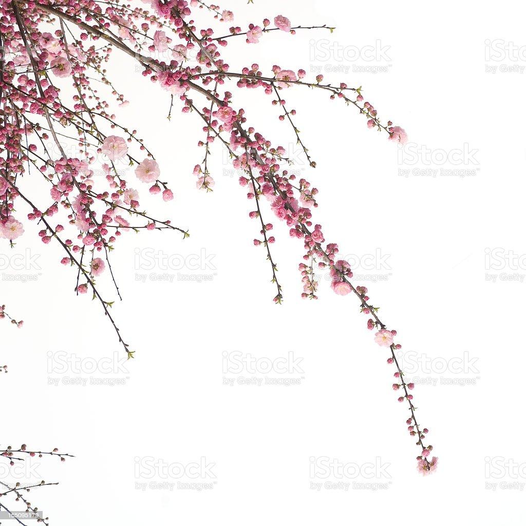 Cherry  flower stock photo