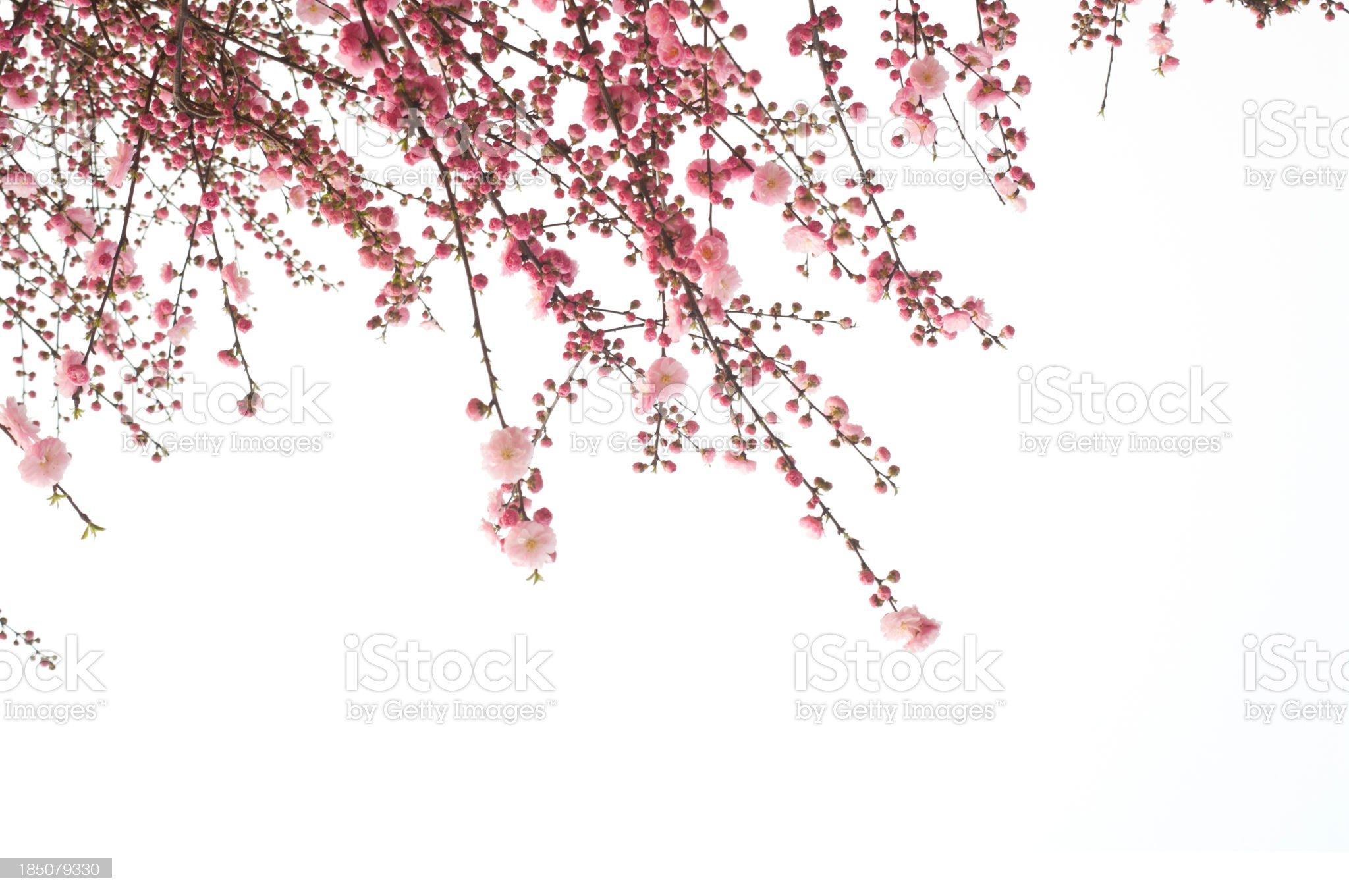 Cherry flower royalty-free stock photo
