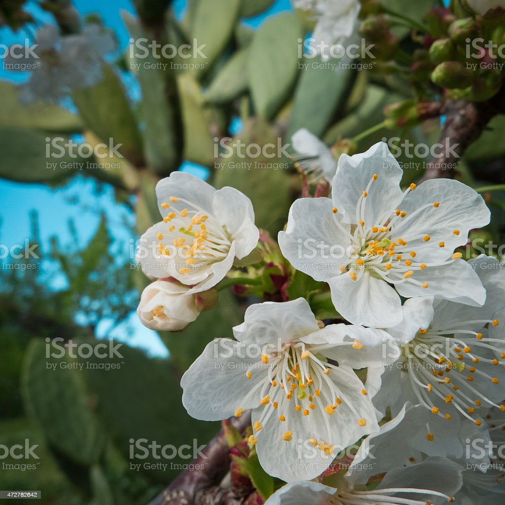 Cherry flowering at sunset . stock photo