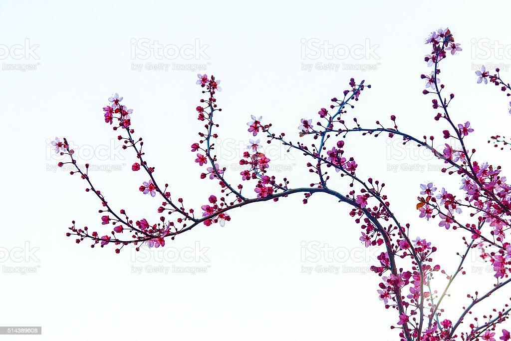 Cherry flowers branch stock photo