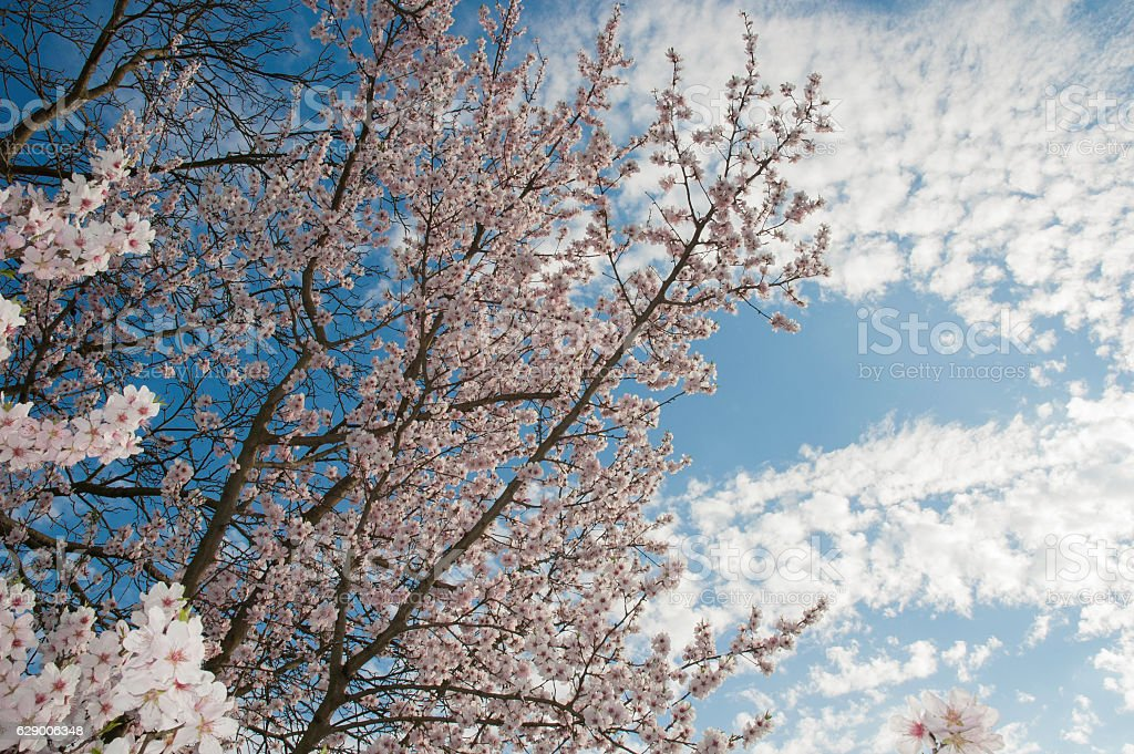 Cherry flowers. Cherry tree blooming royalty-free stock photo